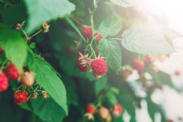 Lots of red ripe raspberries on a bush