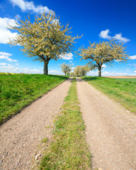Fototapete - Kirschbäume in voller Blüte, Feldweg durch Felder im Frühling