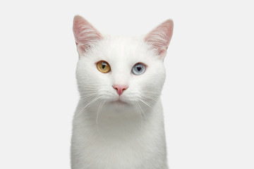 Portrait of Pure White Cat with odd eyes on Isolated Background