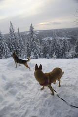 winter landscape with two dogs, Finland