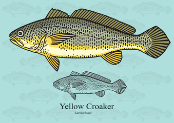 Yellow Croaker. Vector illustration for artwork in small sizes. Suitable for graphic and packaging design, educational examples, web, etc.