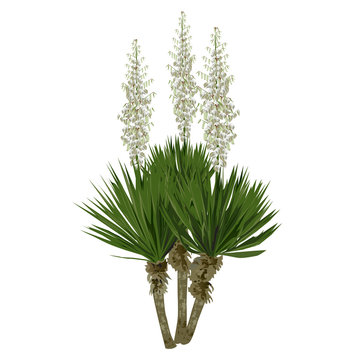 The blossoming yucca plant