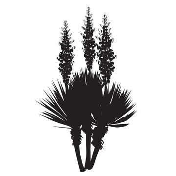 Silhouette of the blossoming yucca plant