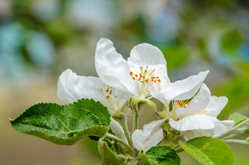 Apple tree flowers close-up on a beautiful background