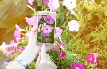 Woman's hands holding smartphone, taking pictures of flowers. Image with sunlight flash effect