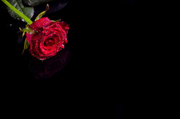 Red rose with water drops on a black background, free space for your text.