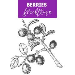 Blackthorn hand drawn vector illustration set. Engraved food image.