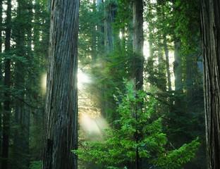 Sun thru the Redwoods