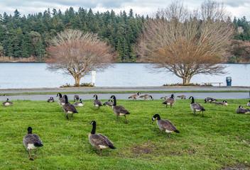 Canada Geese Near Lake 2