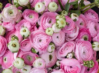 Pink Ranunculus. Flower background
