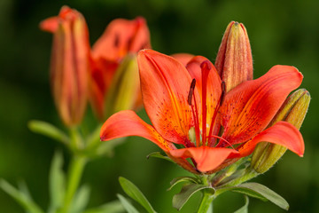 A lot of orange lily flower  on a summer sunny day in the garden