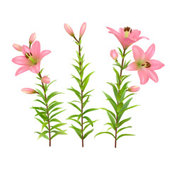 Pink lilies with green stem and leaves. Set of three realistic flowers. Colorful vector illustration.