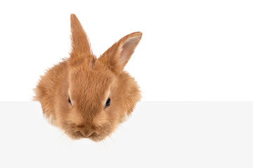 A beautiful fluffy redhead rabbit looks down from behind a gray background