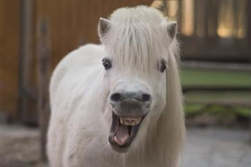 Pferd lacht