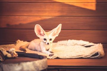 Cute pet fox lying on soft bedding feeling like a queen in luxury hotel