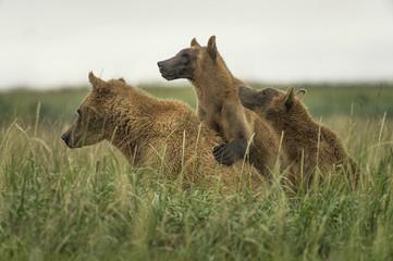 Brown bear famly