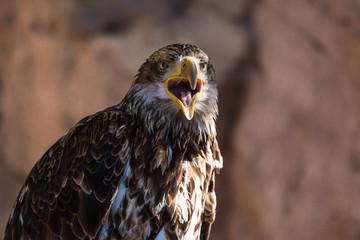 Young bald eagle screams