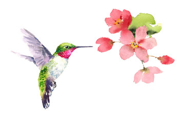 Watercolor Bird Hummingbird Flying Around the Cherry Blossoms Flowers Hand Drawn Summer Garden Illustration isolated on white background
