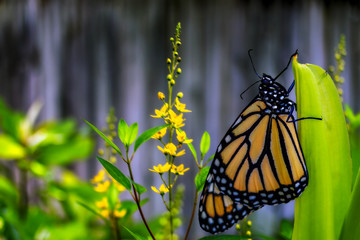 Monarch Butterfly poised on green stem among yellow flowers; composite