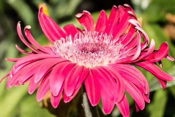 A daisy flower is in full bloom