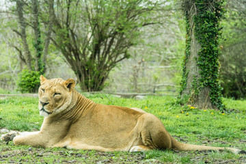 Male Lion Resting