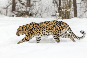 Amur Leopard In The Snow Wall mural