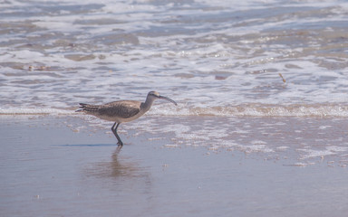 A long-billed curlew is playing on a sand beach