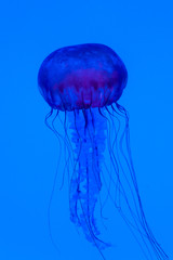 Graceful jellyfish swimming in an aquarium. Colorful sea creature on vivid blue background.