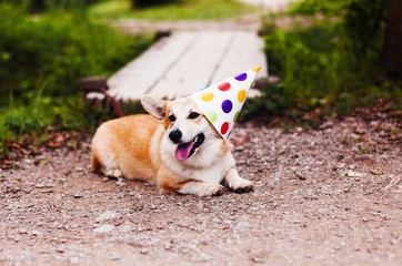 Corgi dog in a fancy cap smiles celebrating birthday
