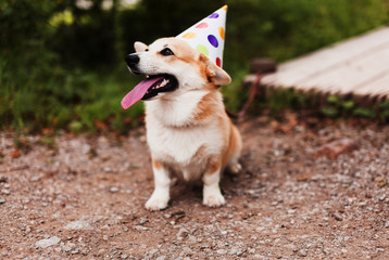 Corgi dog in a fancy cap smiling celebrates birthaday