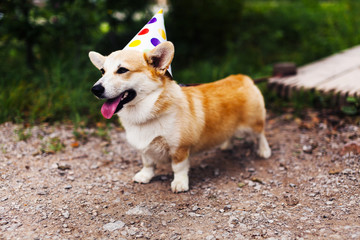 Corgi dog in a fancy cap smiling celebrates birthday
