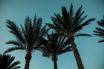 Silhouette of palm trees at sunrise with vintage filter. Summer time