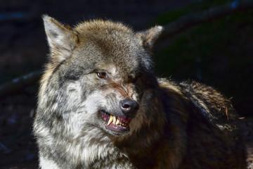Wolf Drohung