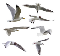 set of seven isolated seagulls