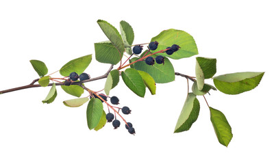 bunch of ripe juneberry on white
