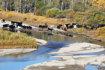 Wall Mural - Cattle Along a Mountain Stream with Fall Colors