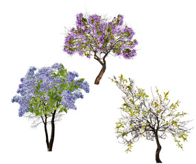 set of three blossoming trees on white
