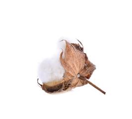 cotton flower on white background