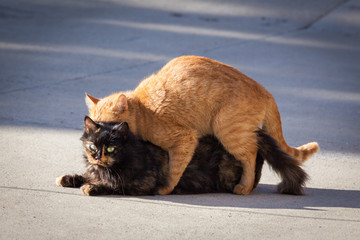 Cats mating. The natural behavior of the animals