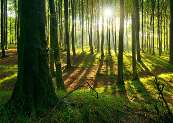 Sonnenstrahlen im naturnahen Buchenwald nach Regenschauer