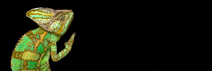 Chameleon on a black background
