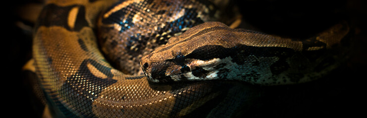 Python reptile on black background