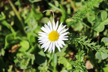 Bellis Perennis with grass