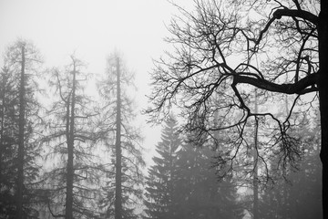 Foggy winter forest with bare trees, black and white