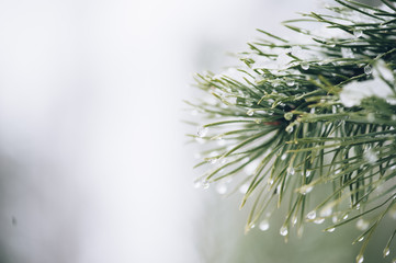 Pine tree with a macro dew on it