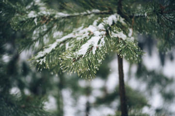 Beautiful pine trees on the birch trees background in the winter snowy forest