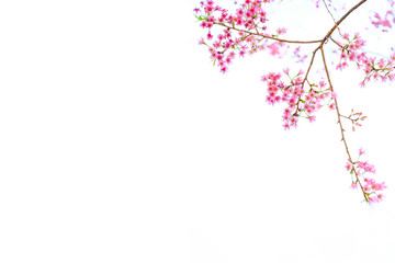 Pink Cherry blossom, sakura flowers isolated on white background