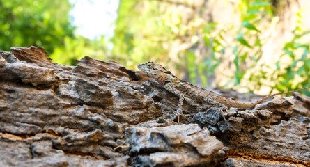 A camouflage lizard on the tree is trying to eat insect. Brown lizard on bark on tree. Small Lizard on tree trunk.