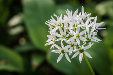 The characteristic white flowers  of wild garlic are perfectly edible – and pretty too – although the plant is at its best before too many flowers appear.
