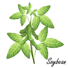 Soybean  (soya, Glycine max). Hand drawn vector illustration of soybean plant with bean pods on white background.